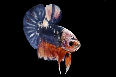 The Betta Siamese fighting fish, Betta splendens Pla-kad Thai.(white red blue betta) isolated on black
