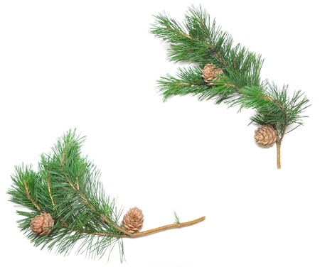 siberian pine: siberian pine cones with branch isolated on white