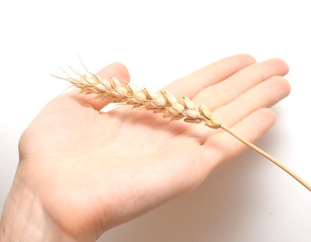 ear wheat in hand female on white photo
