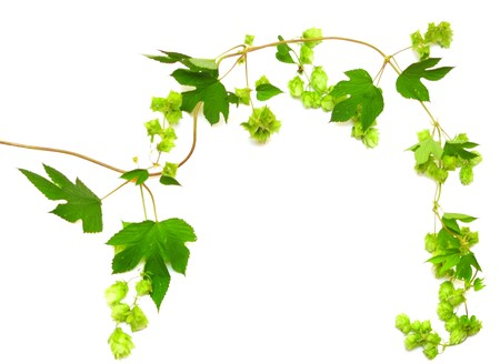 hops plant twined vine, young leaves isolate on white photo