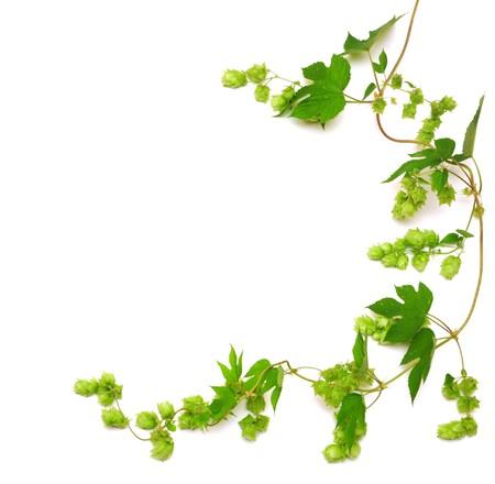 hop plant twined wijn stok, jonge bladeren isoleren op wit  Stockfoto