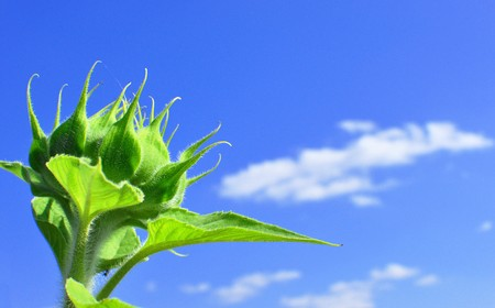 green sunflower in sunny day on sky background photo