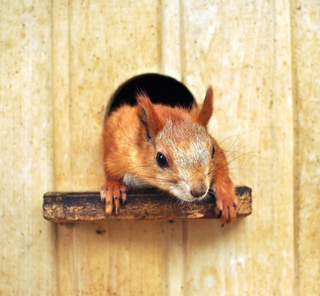 tree dweller: red squirrel out of a wooden house