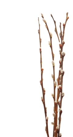 willow: Twigs of willow with catkins on a white background  Stock Photo