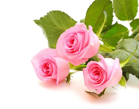flower of pink roses on white background Stock Photo