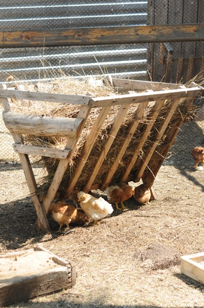 peck: A group of pasture raised chickens peck for feed on the ground  Stock Photo