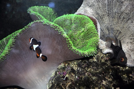 A clown anemonefish in colorful anemone  Stock Photo