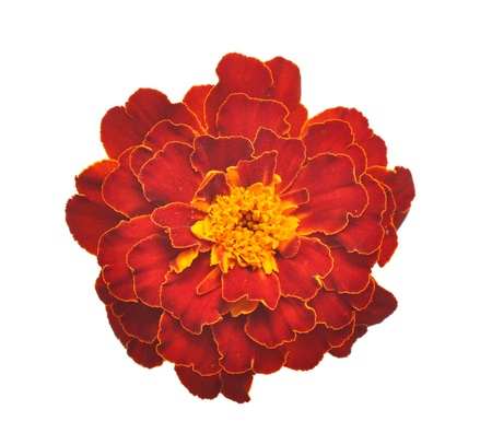cut flowers: Marigold flower on a white background