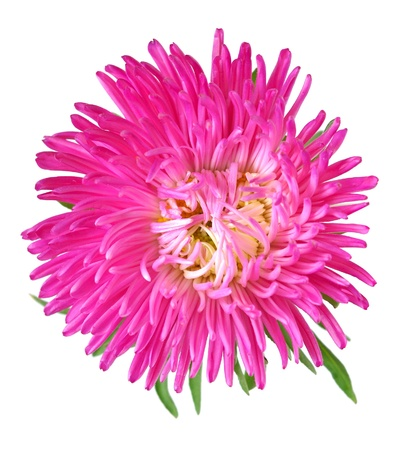 aster: Single aster flower head isolated on white