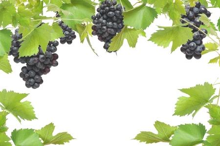 Verse wijnstok frame met zwarte druiven, geïsoleerd op witte achtergrond