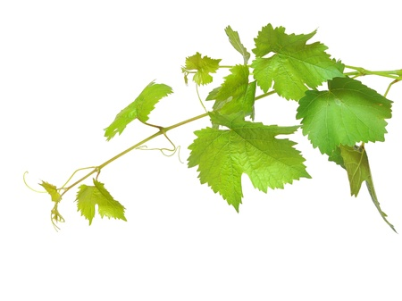 fresh green grape leaf on isolated white background