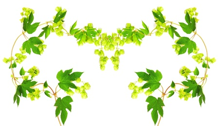 humulus: Frame with fresh hop branches, on white background