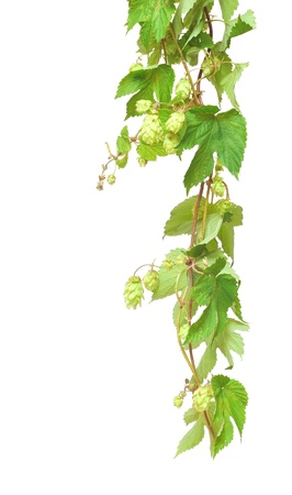 creepers: Branch of hop on white background
