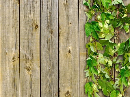 dacha: a old wooden fence and a climber plant hop