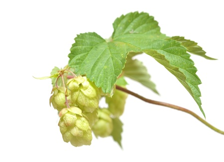 humulus: fresh hop branch, isolated on white background