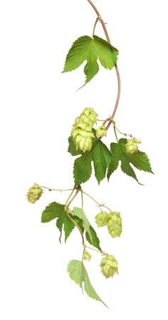common hop: fresh hop branches, isolated on white background