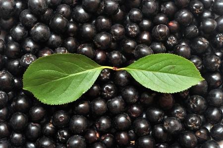 black chokeberry. Aronia melanocarpa Stock Photo
