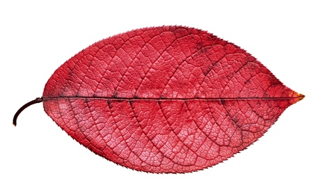 on leave: Fall red leaf isolated on white background