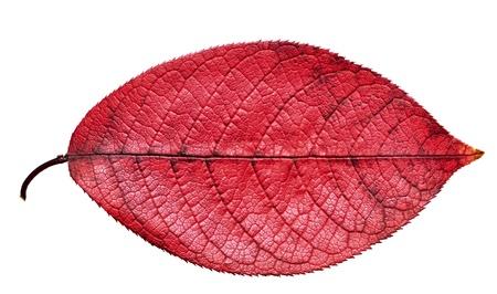 Hoja de otoño rojo aislada sobre fondo blanco