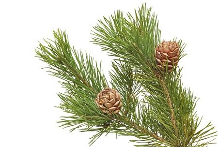 siberian pine: siberian pine cones with branch Stock Photo