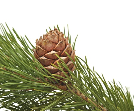 siberian pine: siberian pine cone with branch