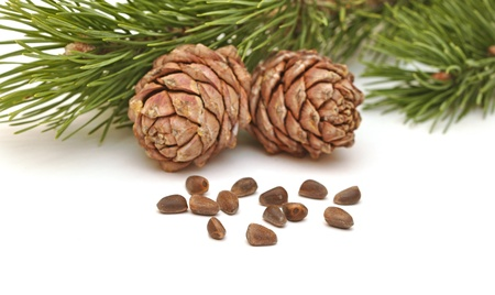siberian pine: Siberian pine nuts and needles branch on white background  Stock Photo