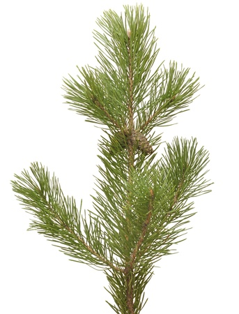 branch siberian pine isolated on white photo