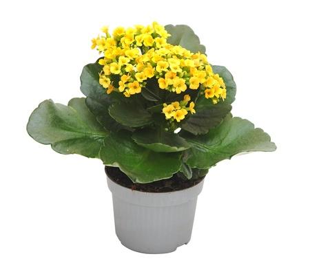 houseplant yellow Kalanchoe  isolated on white background