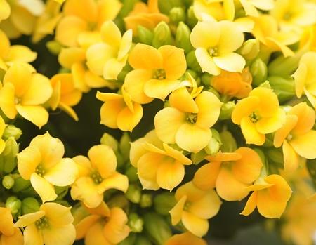 kalanchoe fiori gialli