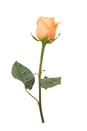 Beautiful pink rose on a white background Stock Photo
