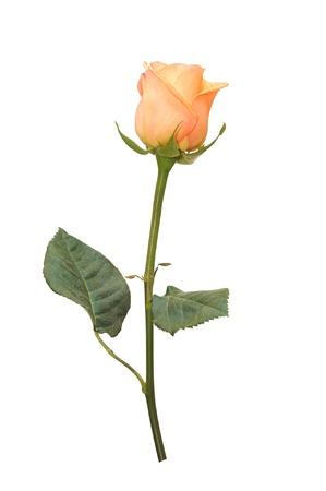 tallo: Hermosa rosa rosa sobre un fondo blanco