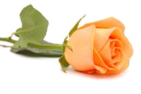 stem: Belle rose sur un fond blanc Banque d'images