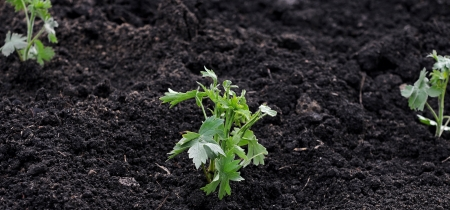 A young green plant growing out of soil.  photo