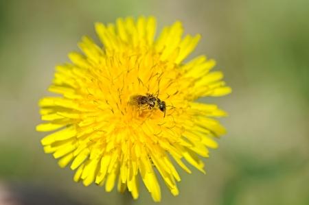 nectaring: Wasp nectaring on a dandelion flower