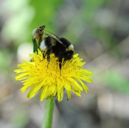 nectaring: bumblebee nectaring on a dandelion flower Stock Photo