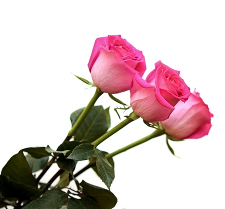 Bunch of pink roses isolated on white Stock Photo - 13897917