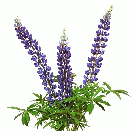 lupine flower on a white background Stock Photo - 14016087