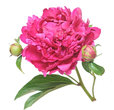 One flower, stem and leaves of a pink peony (Paeonia lactiflora) against a white background photo
