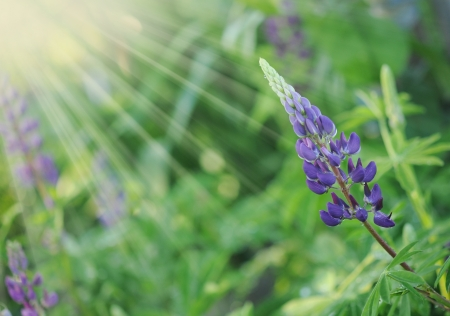 lupines: Purple Wild Lupines on a Sunny Spring Morning