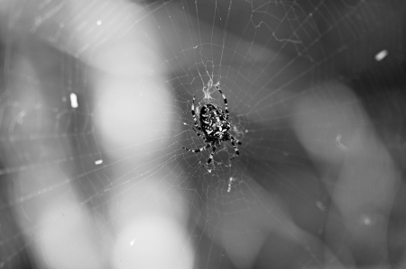Dark black spider in a web photo
