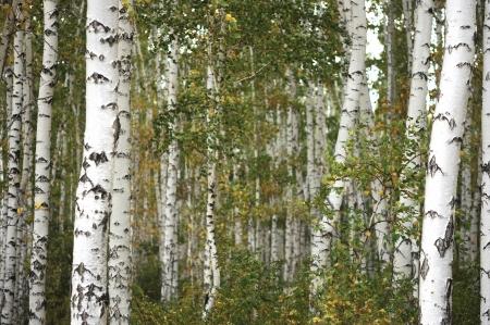 copse: Beautiful landscape in autumn birch grove  Stock Photo