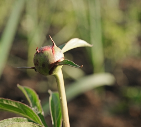 pion: The bud of a pion flower in the garden