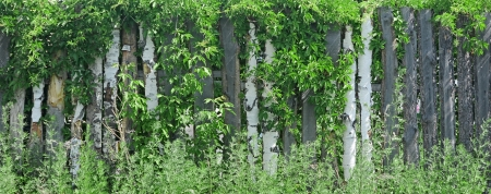 Wooden fence covered in ivy  photo