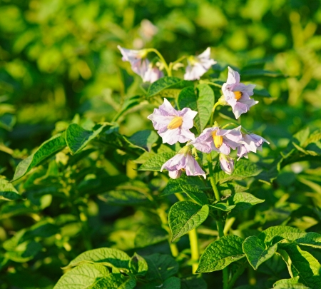 Potato bush blooming with white flowers  photo