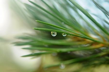 evergreen branch: Rama de un �rbol con�fero con gotas de agua