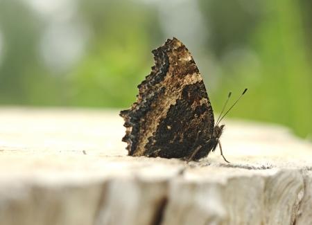 nymphalis: Nymphalis xanthomelas (Yellow-legged Tortoiseshell) butterfly