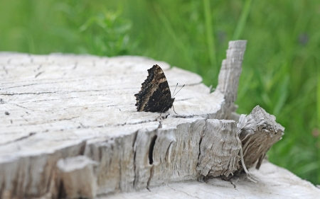 nymphalidae: Nymphalis xanthomelas (Yellow-legged Tortoiseshell) butterfly