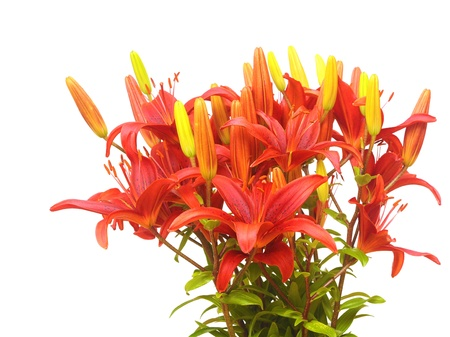 season specific: A red lily bouquet isolated white