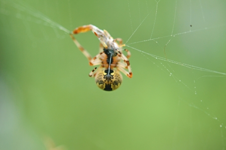 beneficial insect: Live Black and Yellow Garden Spider with Prey. Stock Photo