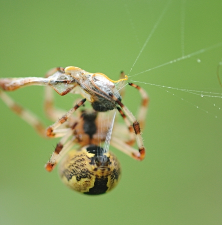golden orb weaver: Live Black and Yellow Garden Spider with Prey. Stock Photo